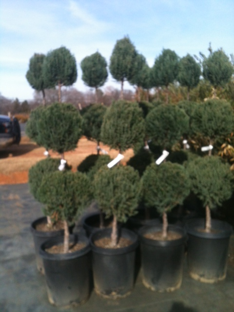 juniper-topiary-3-ball