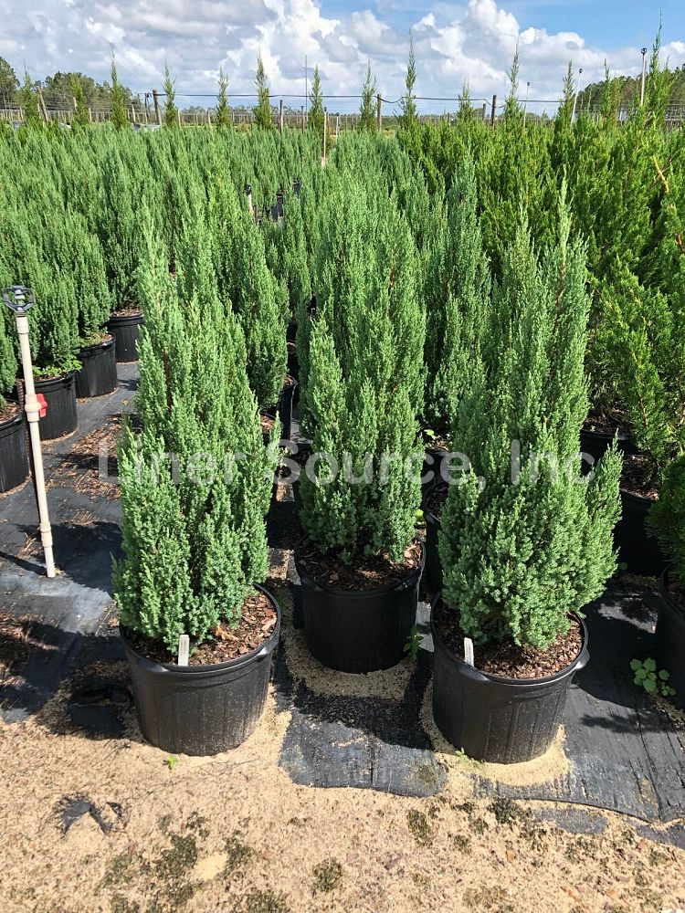 juniperus-chinensis-blue-point-chinese-juniper