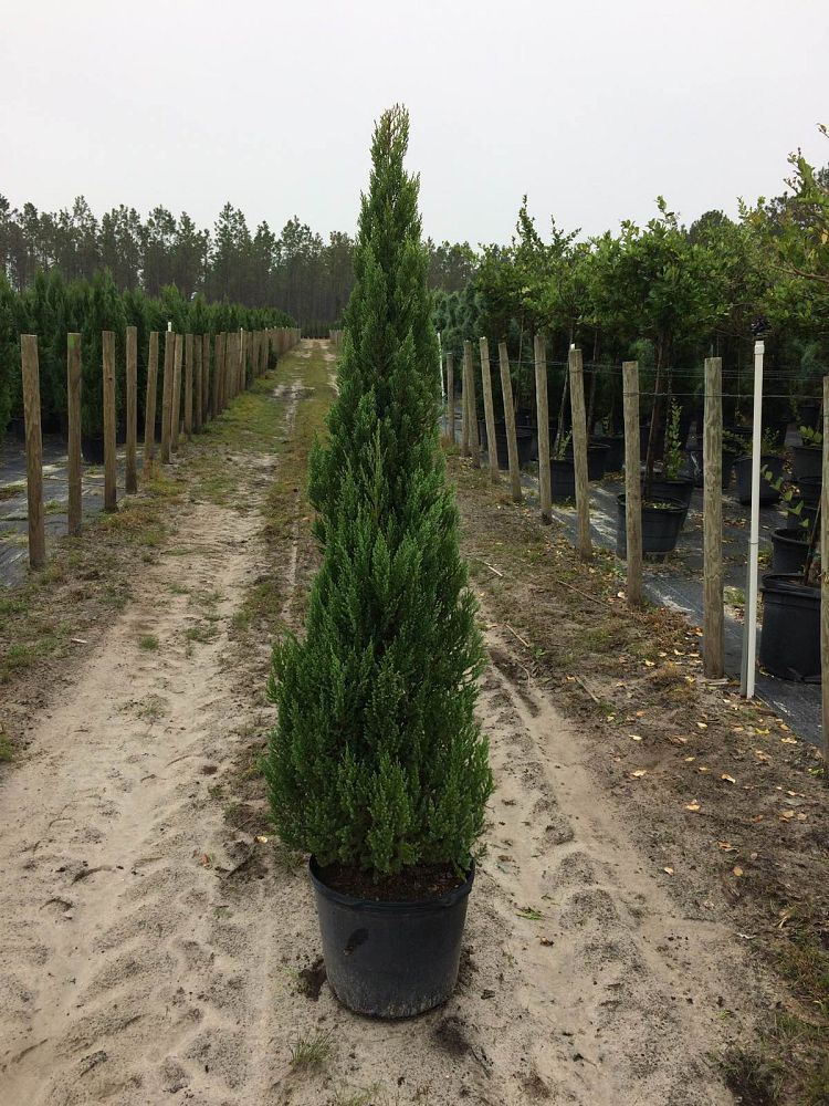juniperus-chinensis-blue-point-topiary-cone-chinese-juniper