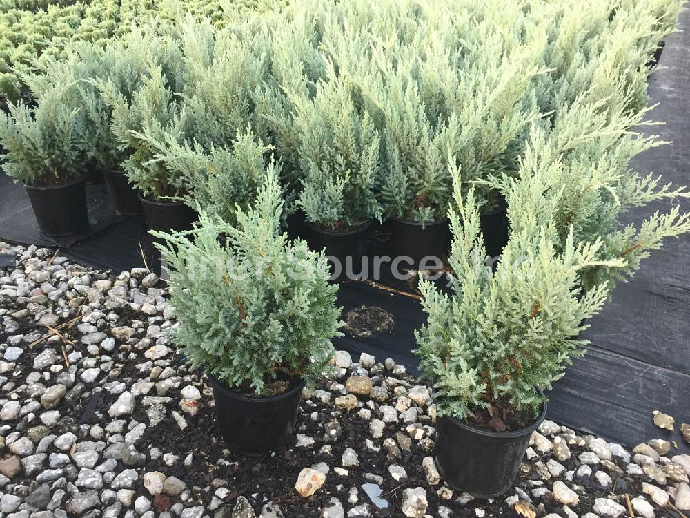 juniperus-chinensis-blue-vase-chinese-juniper