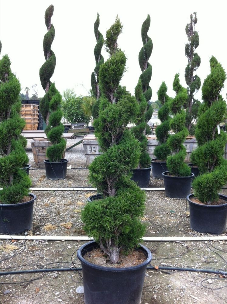 juniperus-chinensis-hetzii-chinese-juniper