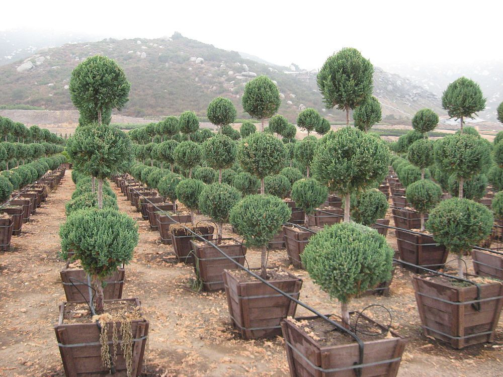 juniperus-chinensis-hetzii-columnaris-topiary-3-ball-chinese-juniper