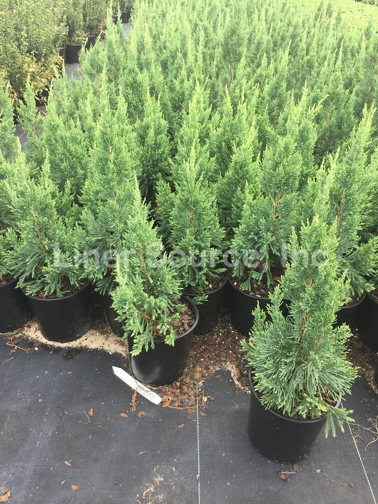 juniperus-chinensis-iowa-chinese-juniper