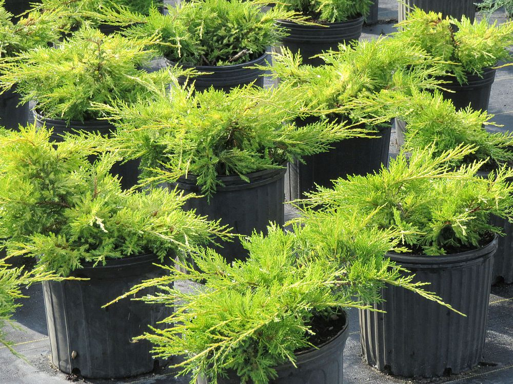 juniperus-chinensis-pfitzeriana-gold-lace-chinese-juniper