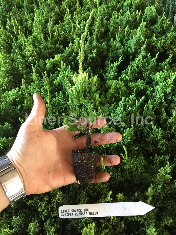 juniperus-chinensis-robusta-green-chinese-juniper