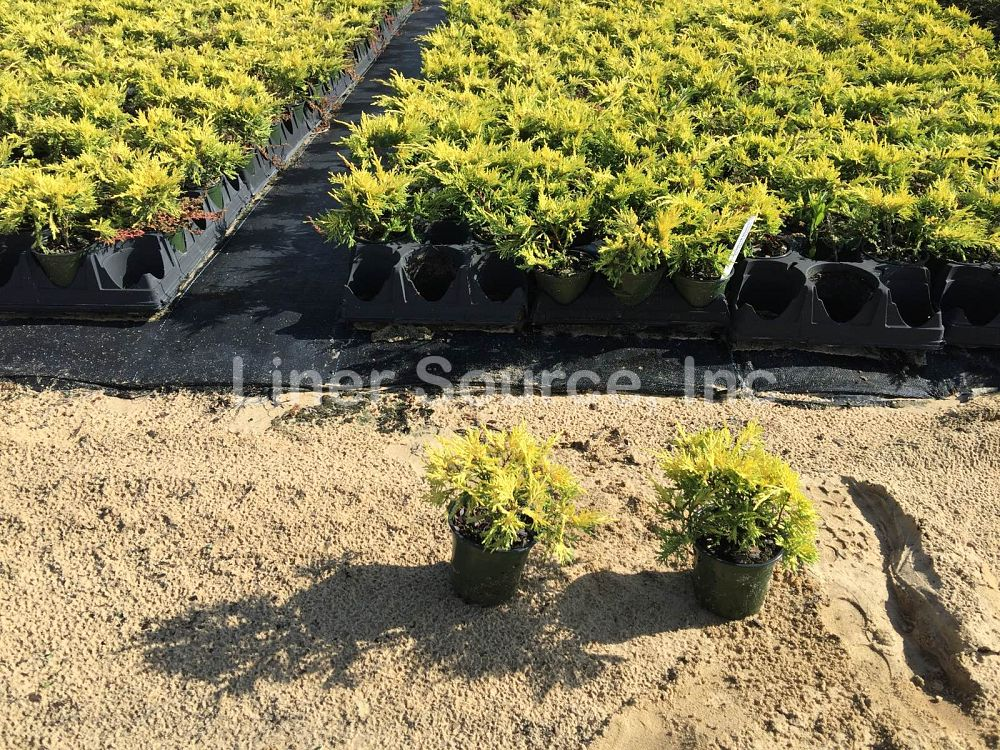 juniperus-chinensis-saybrook-gold-chinese-juniper