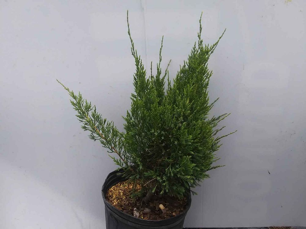 juniperus-chinensis-sea-green-chinese-juniper