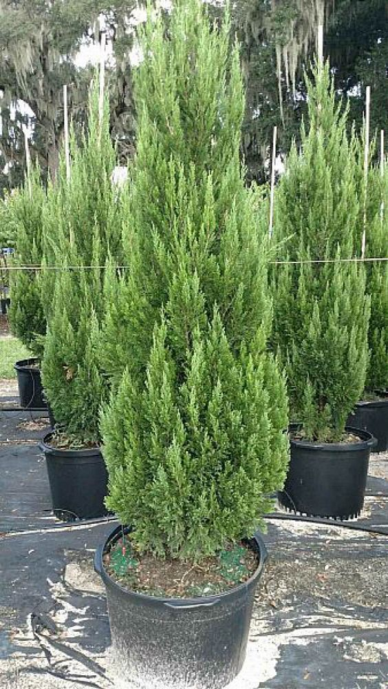 juniperus-chinensis-spartan-chinese-juniper