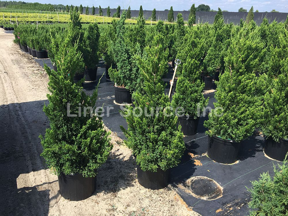juniperus-chinensis-torulosa-hollywood-juniper
