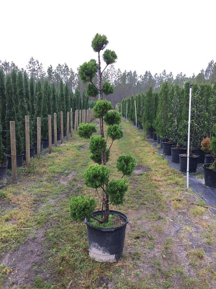 juniperus-chinensis-torulosa-topiary-pompom-hollywood-juniper