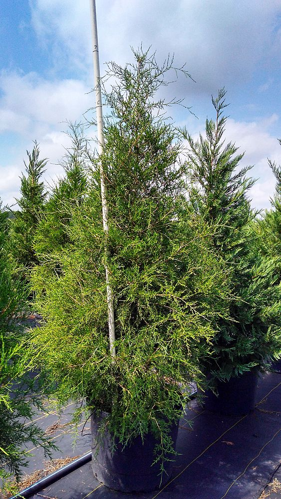 juniperus-chinensis-wintergreen-chinese-juniper