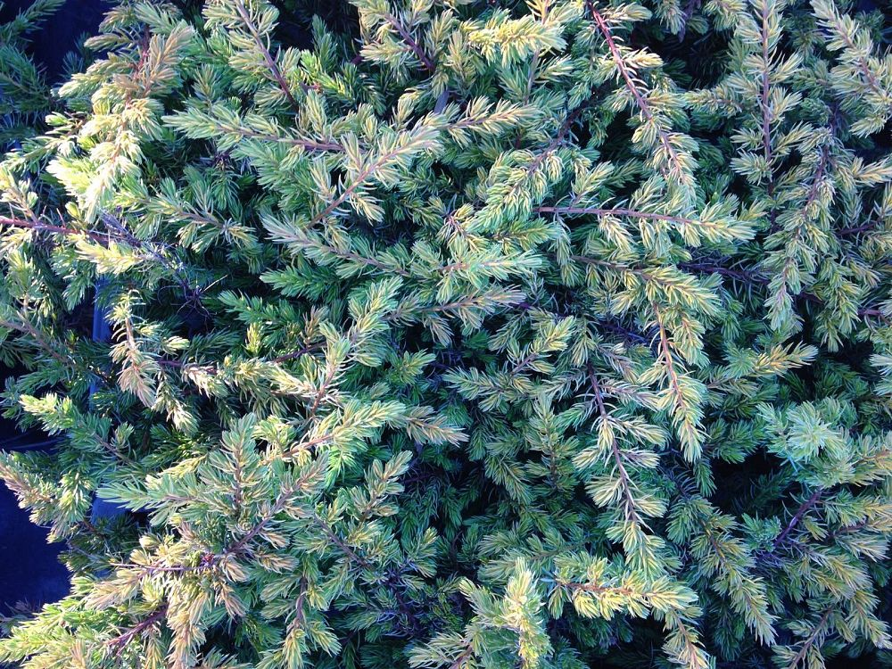 juniperus-conferta-all-gold-shore-juniper