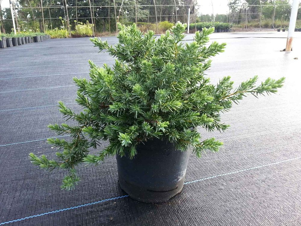juniperus-conferta-blue-pacific-shore-juniper
