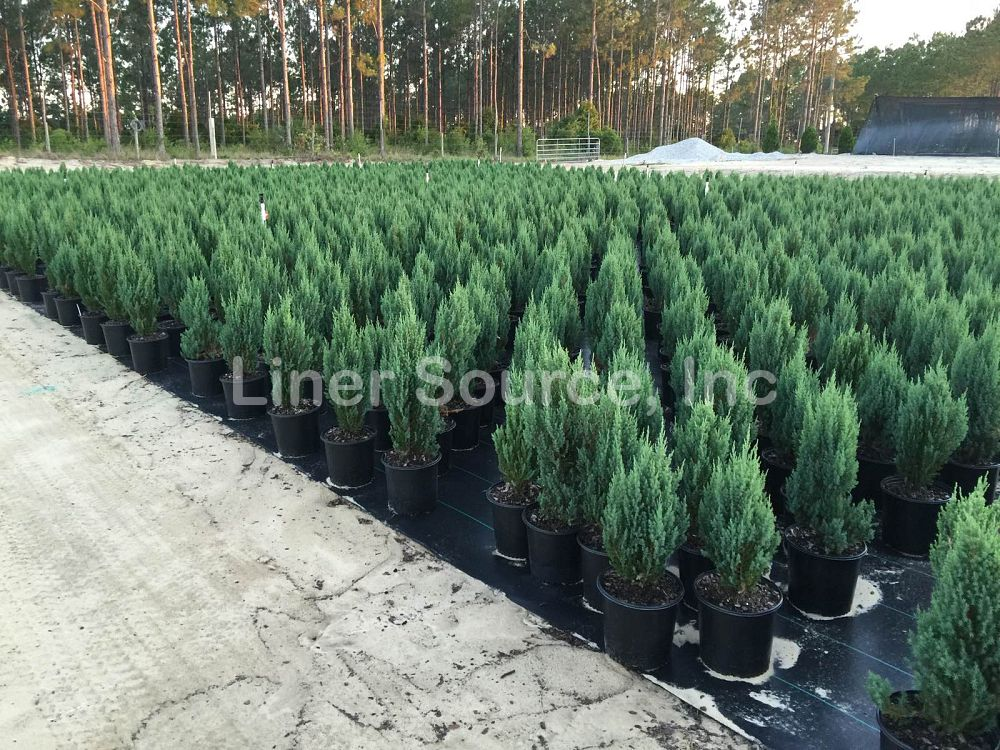juniperus-excelsa-spiny-greek-greek-juniper