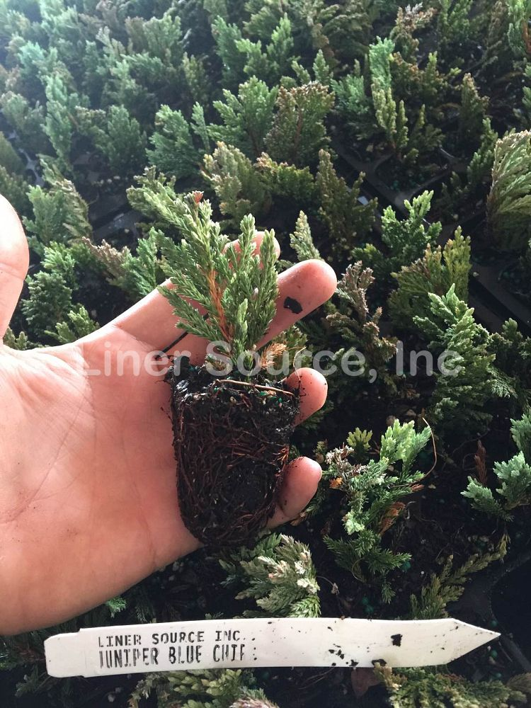 juniperus-horizontalis-blue-chip-creeping-juniper