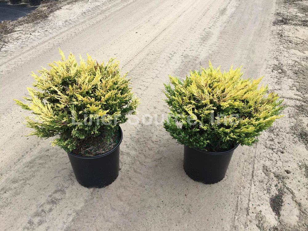 juniperus-horizontalis-lime-glow-creeping-juniper-golden-andorra