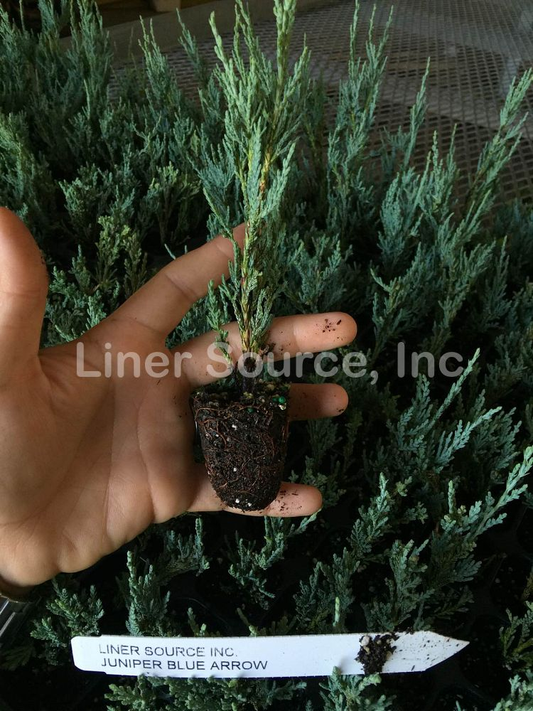 juniperus-scopulorum-blue-arrow-rocky-mountain-juniper