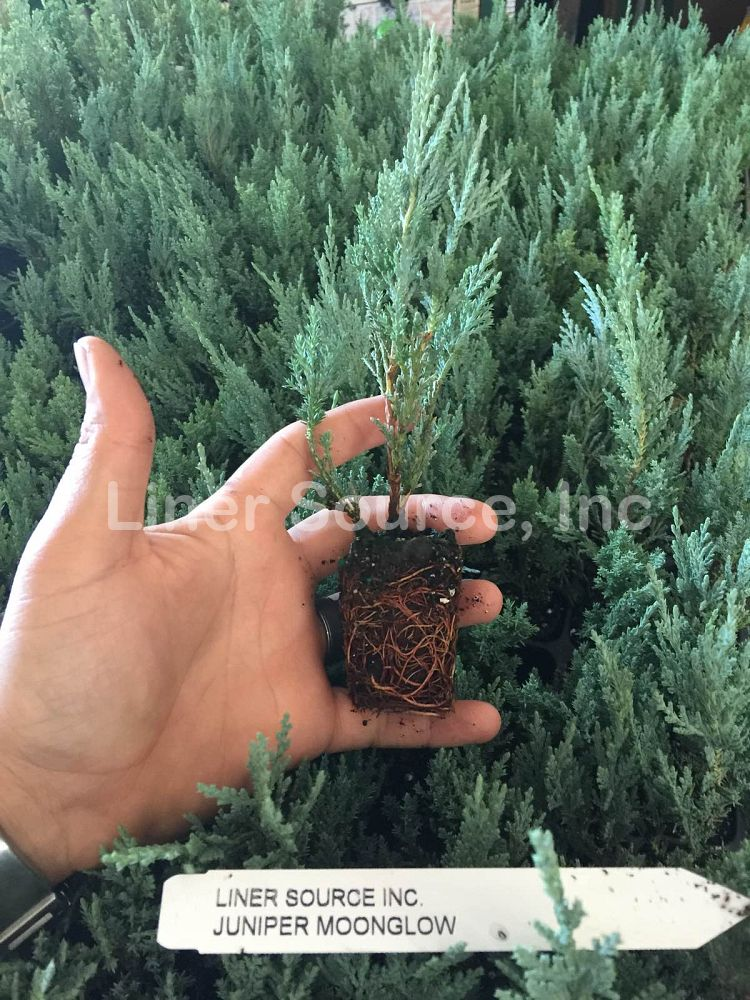 juniperus-scopulorum-moonglow-rocky-mountain-juniper