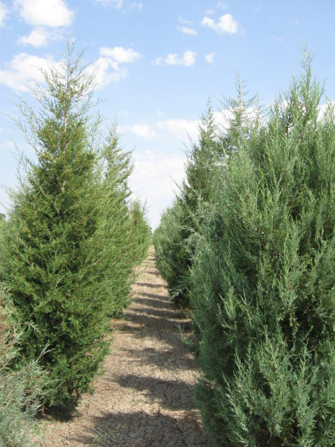 juniperus-scopulorum-rocky-mountain-juniper