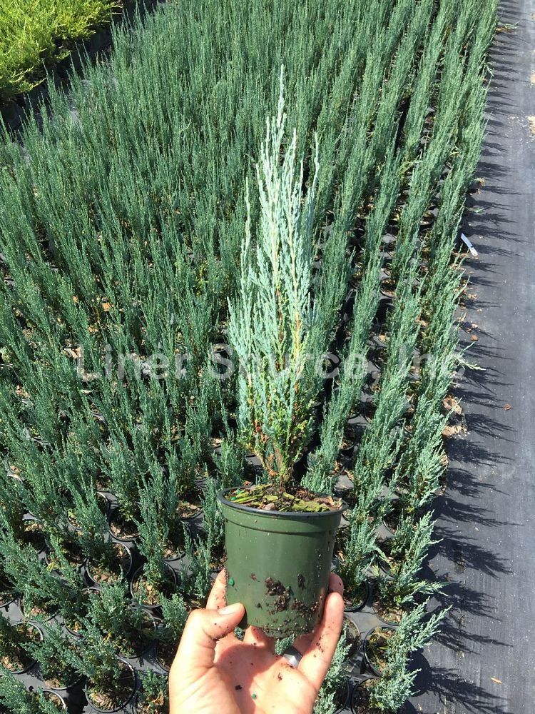 juniperus-scopulorum-skyrocket-rocky-mountain-juniper