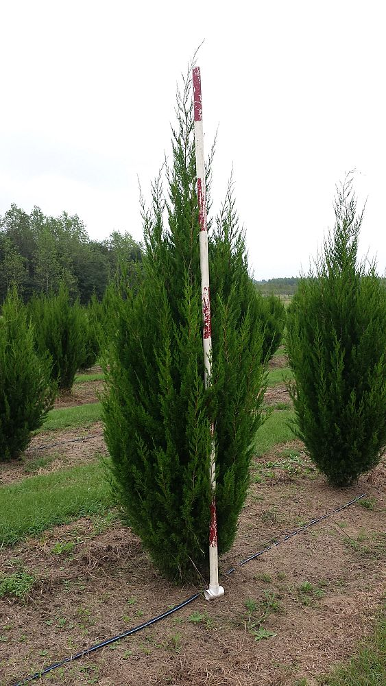 Eastern Red Cedar Varieties ~ Fraley farm plantant