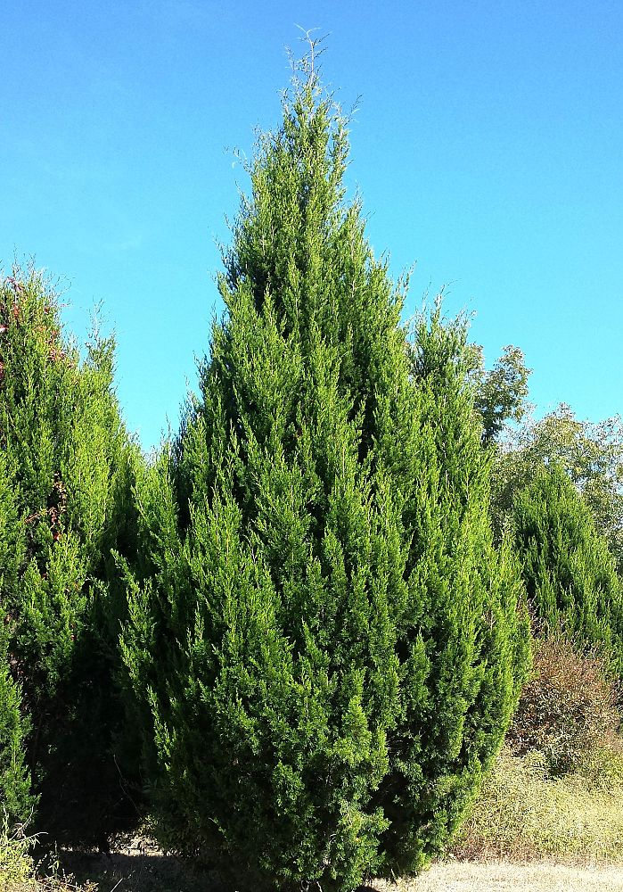 Red Cedar Juniper ~ Juniper virginiana bing images