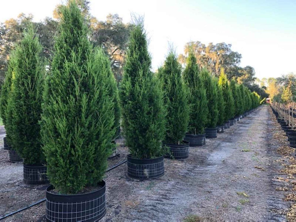 juniperus-virginiana-brodie-eastern-red-cedar