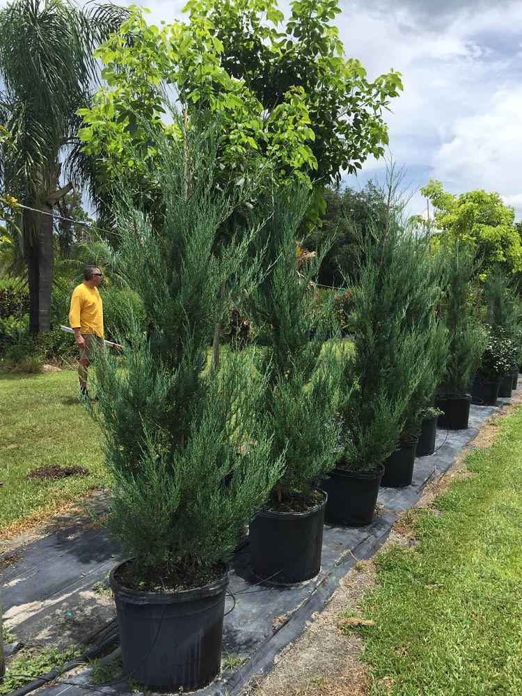juniperus-virginiana-burkii-eastern-red-cedar