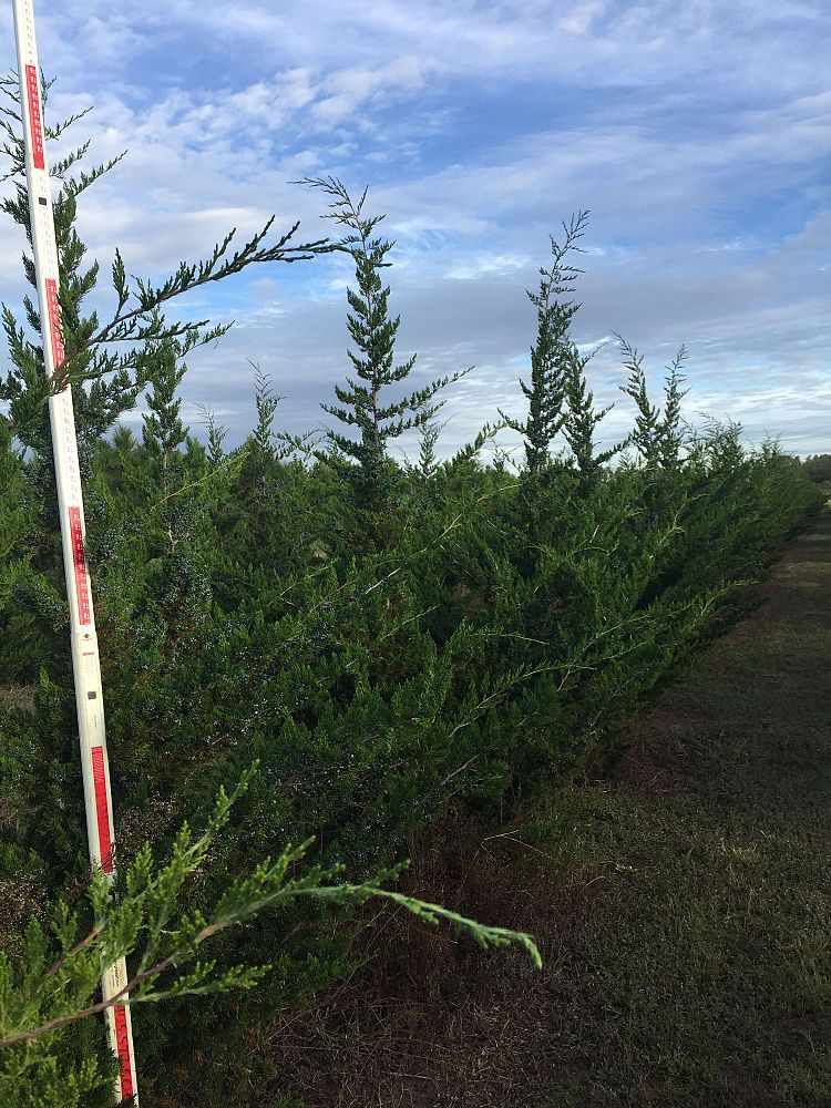 juniperus-virginiana-canaertii-eastern-red-cedar
