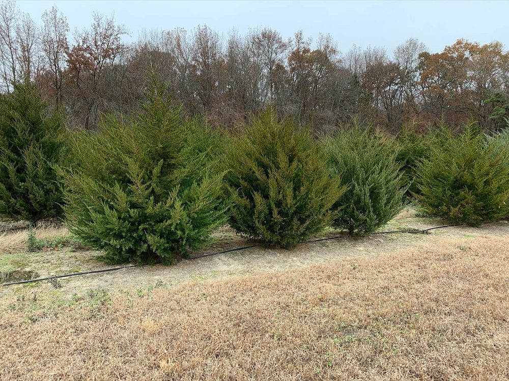 juniperus-virginiana-eastern-red-cedar