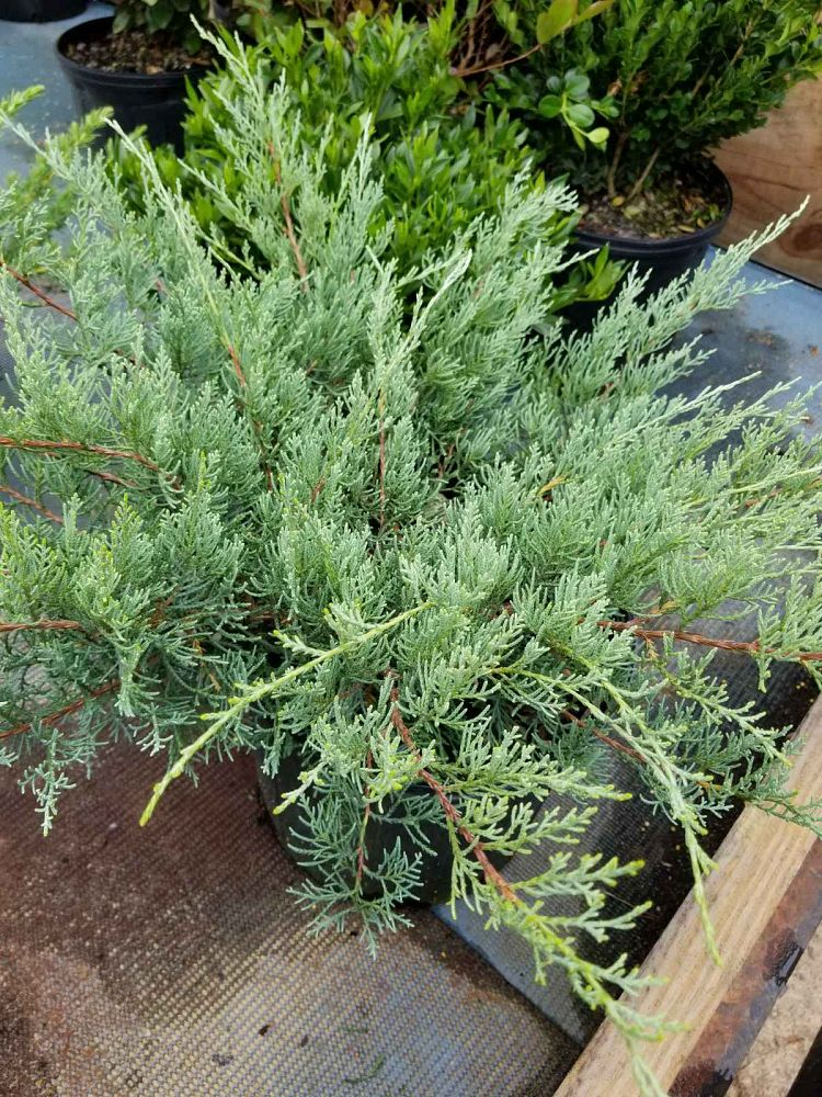 juniperus-virginiana-grey-owl-eastern-red-cedar