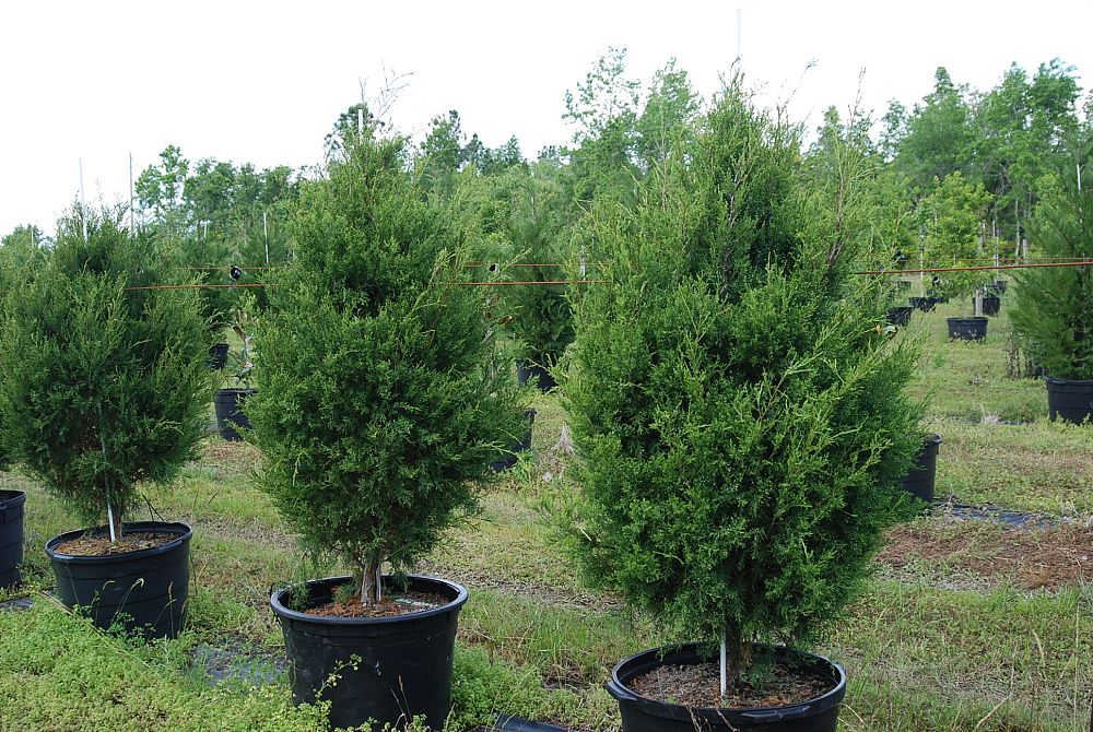 juniperus-virginiana-silicicola-robin-blue-improved-southern-red-cedar