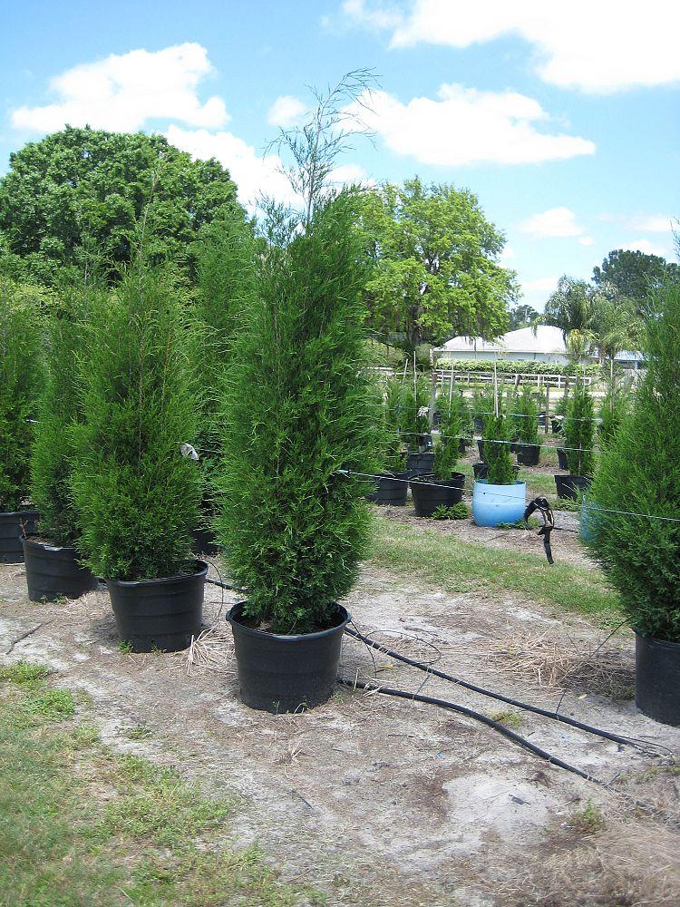 Juniperus Virginiana Silicicola Southern Red Cedar