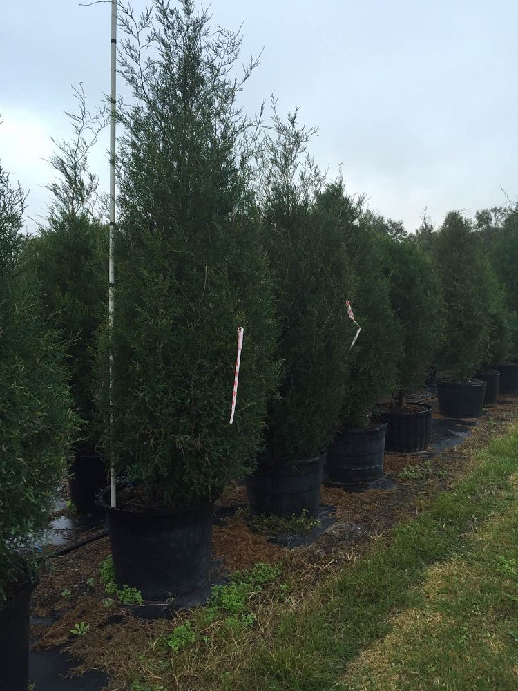 Southern Red Cedar ~ Locate find wholesale plants plantant