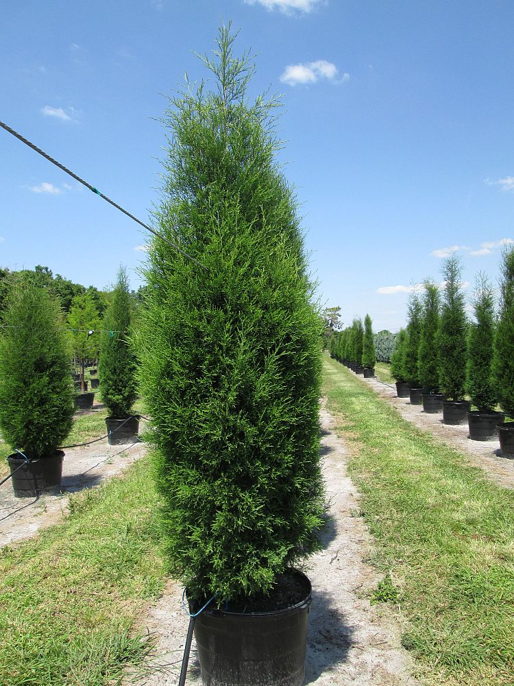 Southern Red Cedar ~ Field grown balled and burlapped in cal ft ht spr