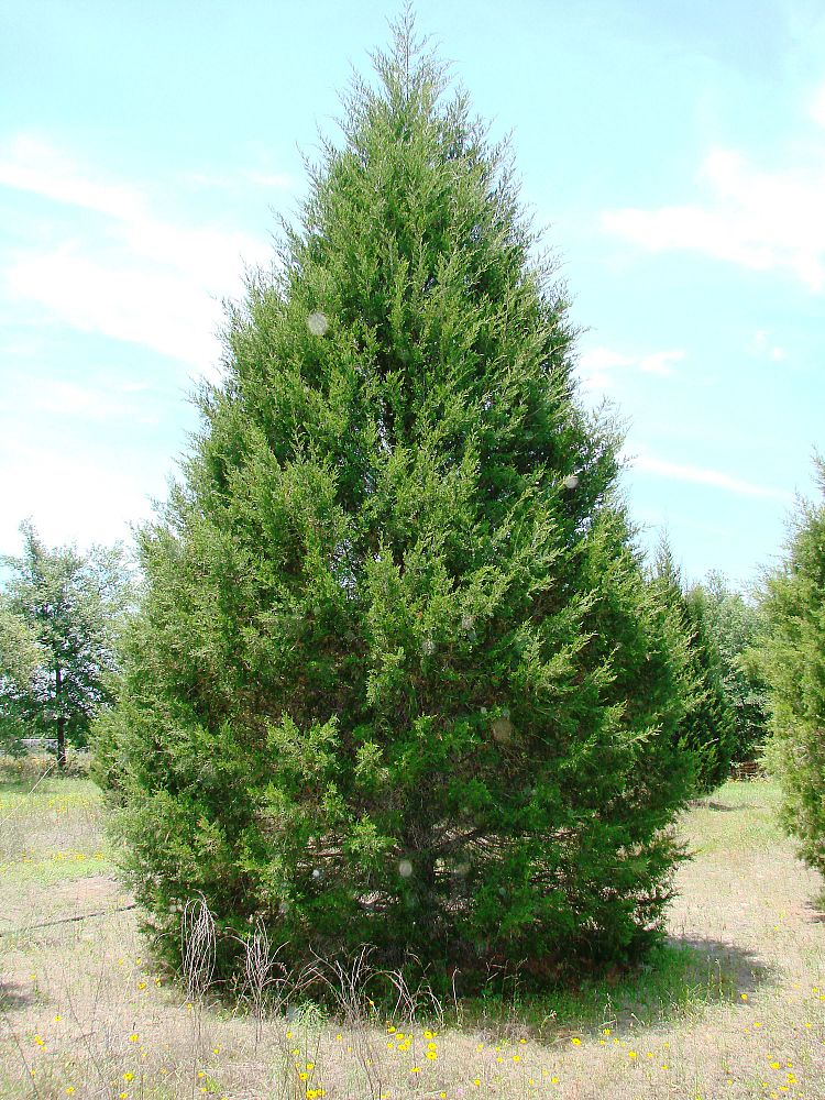 Southern Red Cedar ~ Huntsman tree supplier inc plantant