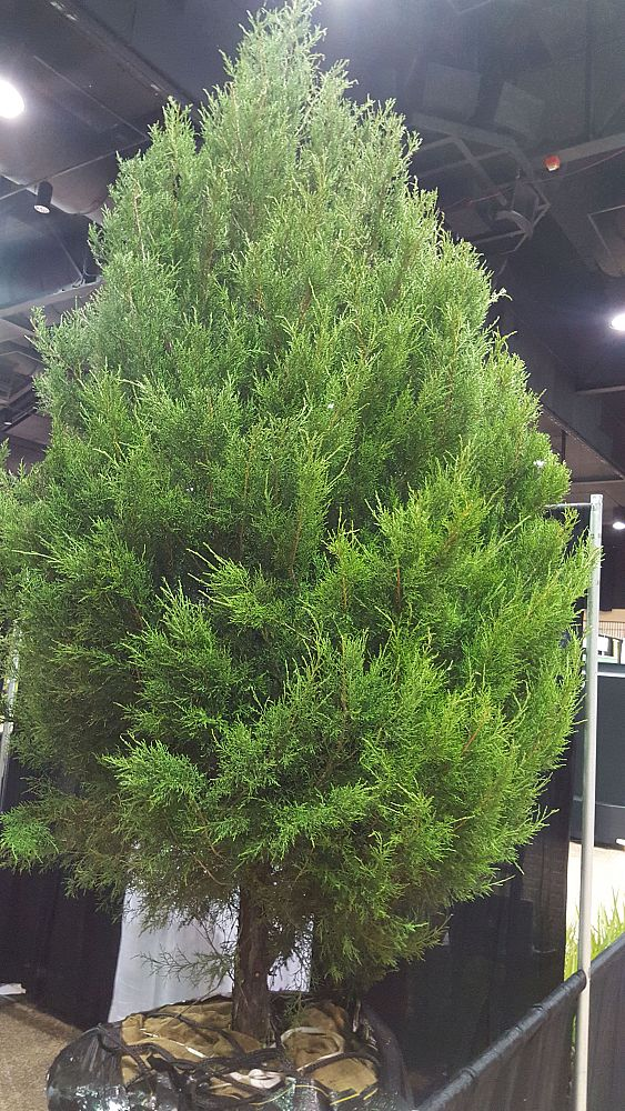 Southern Red Cedar ~ Southeastern shade inc plantant