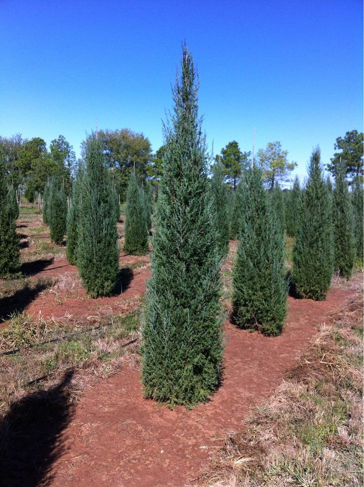 Red Cedar Juniper ~ Whitetail tree farm plantant
