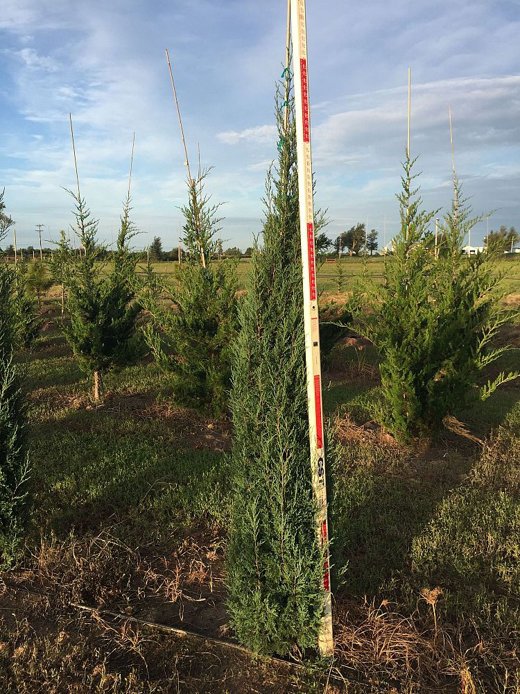 juniperus-virginiana-taylor-eastern-red-cedar