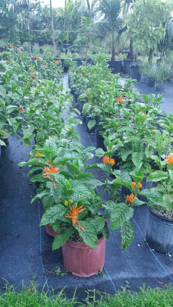 justicia-spicigera-mexican-honeysuckle-orange-plume-justicia-ghiesbreghtiana