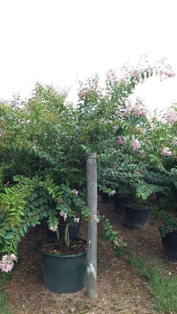 lagerstroemia-basham-s-party-pink-crape-myrtle
