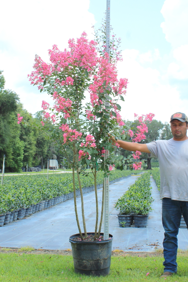 lagerstroemia-choctaw-crape-myrtle