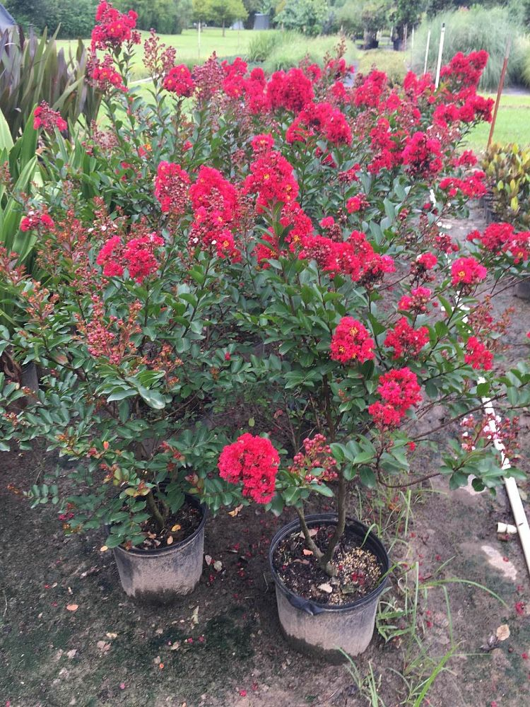 lagerstroemia-enduring-summer-red-crape-myrtle