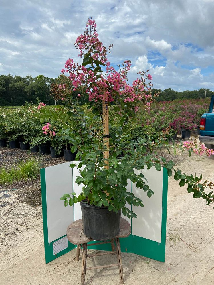 lagerstroemia-fauriei-hopi-japanese-crape-myrtle