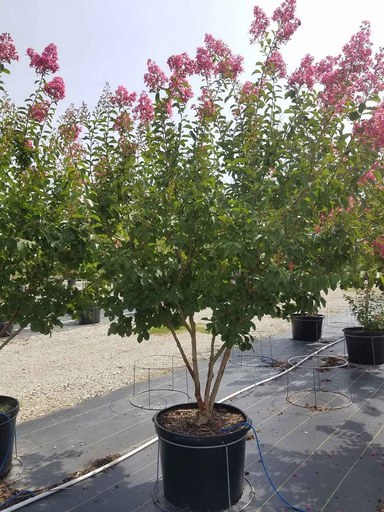 lagerstroemia-fauriei-miami-japanese-crape-myrtle