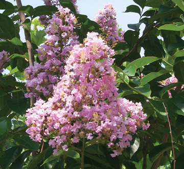 lagerstroemia-fauriei-muskogee-japanese-crape-myrtle