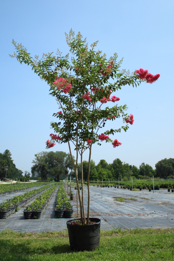 lagerstroemia-fauriei-tuskegee-japanese-crape-myrtle
