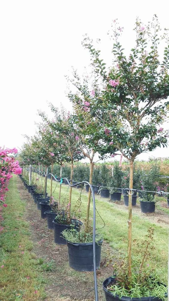 lagerstroemia-fauriei-zuni-japanese-crape-myrtle