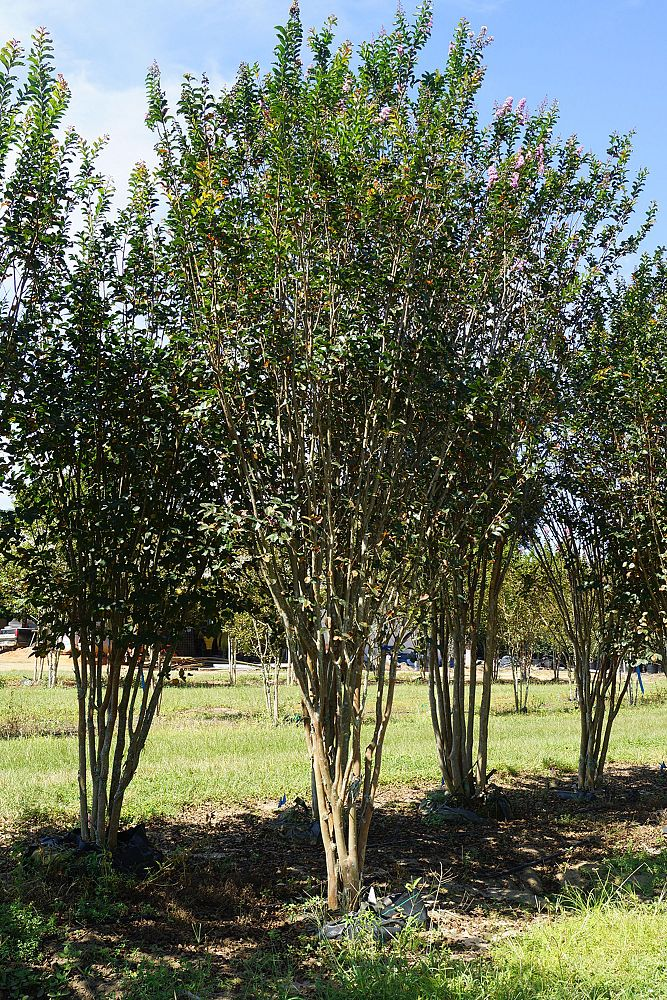 lagerstroemia-indica-apalachee-crape-myrtle