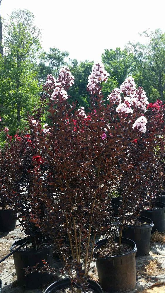 lagerstroemia-indica-black-diamond-best-red-crape-myrtle
